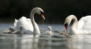 swan rodziny obrazy stock