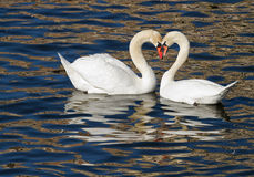 Swan romance in spring. Stock Photos