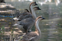 Swan in a row Royalty Free Stock Image