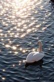 swan rozważne Fotografia Royalty Free