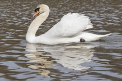 A swan with ruffled feathers  on the Ornamental Pond Stock Image