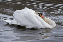 A swan with ruffled feathers  on the Ornamental Pond Royalty Free Stock Photography