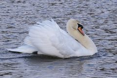 A white swan with ruffled feathers on the ornamental pond on Southampton Common Royalty Free Stock Photo