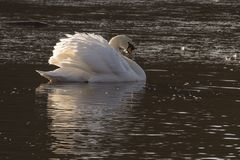 A swan with ruffled feathers on a partially icy pond. A swan with ruffled feathers on the partially frozen Boating Lake  on Southampton Common Stock Photo