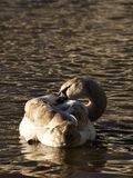 A swan ruffling feathers. A swan on the river Nene giving itself a clean Royalty Free Stock Photo