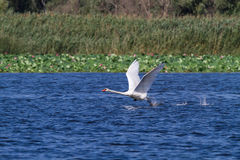 The swan runs up and flies up into the air. Delta. Royalty Free Stock Image