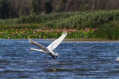 The swan runs up and flies up into the air. Delta. Royalty Free Stock Photo