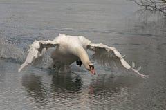 Swan. Rushing across the lake toward rival Royalty Free Stock Photos