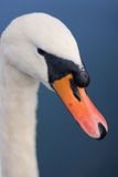 Swan's Beak. A close up of a swan's beak with tiny water droplets on its head royalty free stock photos