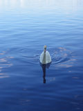 Swan�s coming!. Beautiful swan coming towards the shore Stock Photos