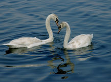 Swan's dance. Pair of swans in crimean coastal waters stock images