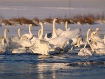 Swan's dance Stock Photos