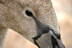 Swan's eye Royalty Free Stock Images