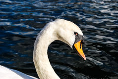 Swan's eyes. Observing carefully with limited trust Royalty Free Stock Photos