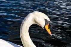 Swan's eyes Royalty Free Stock Photos