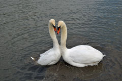 Swan's mating ritual. Swan's showing the distinctive heart shape during the mating ritual Stock Images