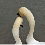 Swan's mating ritual. Swans displaying the mating ritual preening each other Royalty Free Stock Image