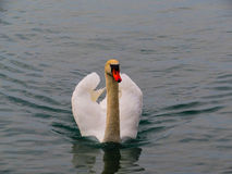 Swan. It`s the most beautiful bird Royalty Free Stock Photography