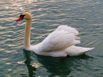 Swan. It`s the most beautiful bird Stock Image