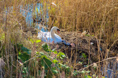 Swan`s nest and garbage. Environmental pollution. Stock Photo