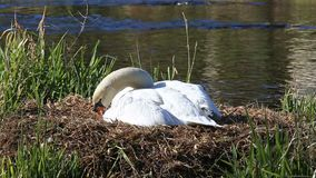 Swan`s nest. View of swan`s nest in a sunny day stock footage