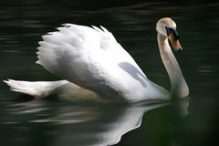 Swan. It's summer and the swan is on the lake Royalty Free Stock Image