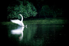 Swan sailing on the lake in a forest Stock Photos