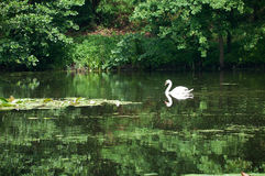 Swan sailing on the lake in a forest Royalty Free Stock Images