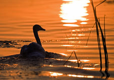 Swan sailing into the sunset. In the Delta of the Volga river Stock Photo