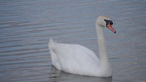 The swan sails to the pond, observes the surroundings stock video footage