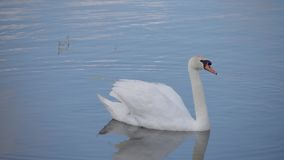 The swan sails to the pond, observes the surroundings. stock footage