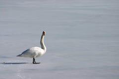 swan samotny obrazy stock