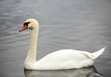 Swan screamer. Pure white angel Royalty Free Stock Images