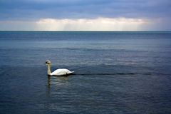 Swan in the sea Royalty Free Stock Images