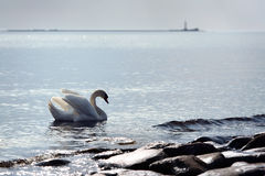 Swan in the sea Royalty Free Stock Photography