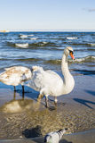 Swan sea. Stock Photography