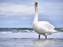 Swan at the sea. A curious swan at the Baltic sea, Germany Royalty Free Stock Image