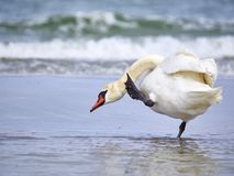 Swan at the sea Stock Image