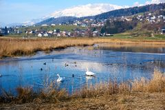 Swan in sea mountain with snow in background stock photos