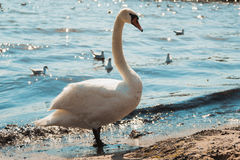 Swan by sea ocean water. Royalty Free Stock Photography