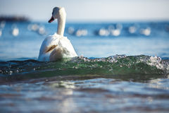 Swan on the sea Stock Photos