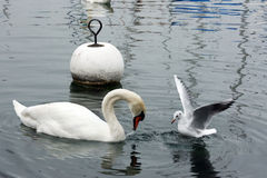 Swan and seagull Royalty Free Stock Photos