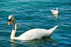 Swan and seagull on lake Stock Photo