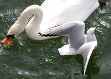 Swan and Seagull Royalty Free Stock Photography