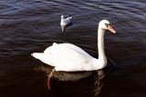Swan & Seagull Royalty Free Stock Photo