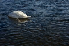 Swan in lake. Swan searching for food half underwater Royalty Free Stock Photos