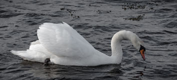 Swan searching for food. In Larvik, Norway Stock Image