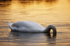 Swan searching Royalty Free Stock Image