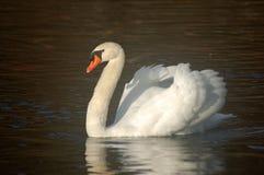 Swan of Sedaka Lake Stock Image