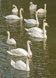 Swan See. Stockbilder